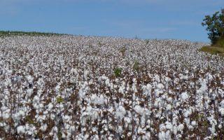 Baumwolle-Brasilien.jpg