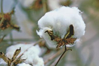 Cotton Photo: Cotton USA