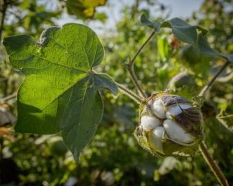 Baumwolle-Cotonea.jpg